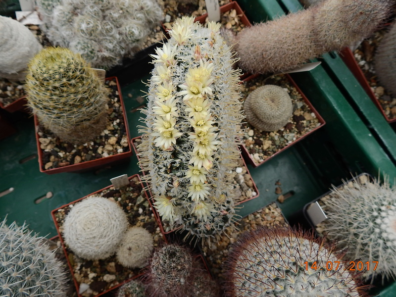 Cacti and Sukkulent in Köln, every day new flowers in the greenhouse Part 186 Bild1461