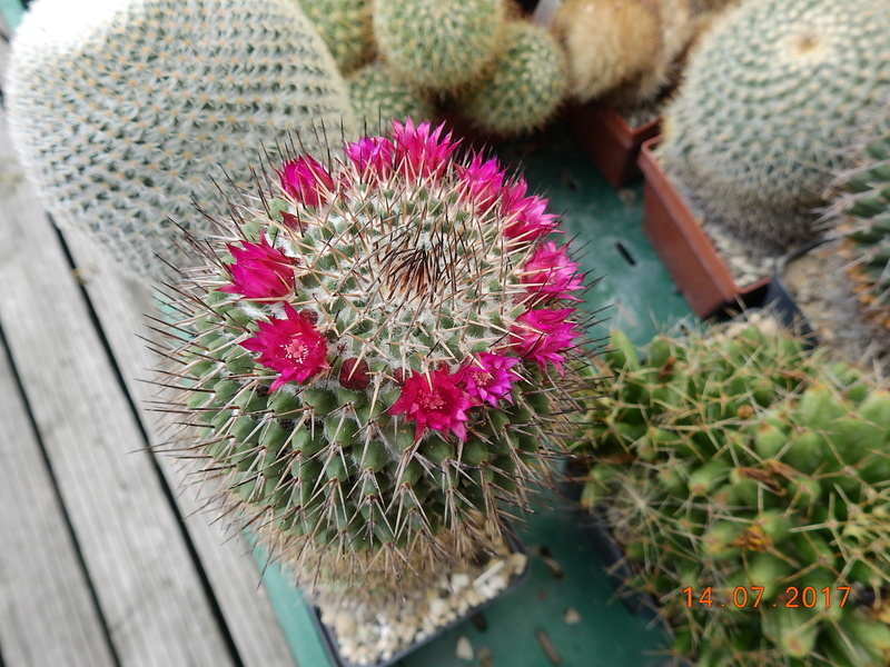 Cacti and Sukkulent in Köln, every day new flowers in the greenhouse Part 186 Bild1470