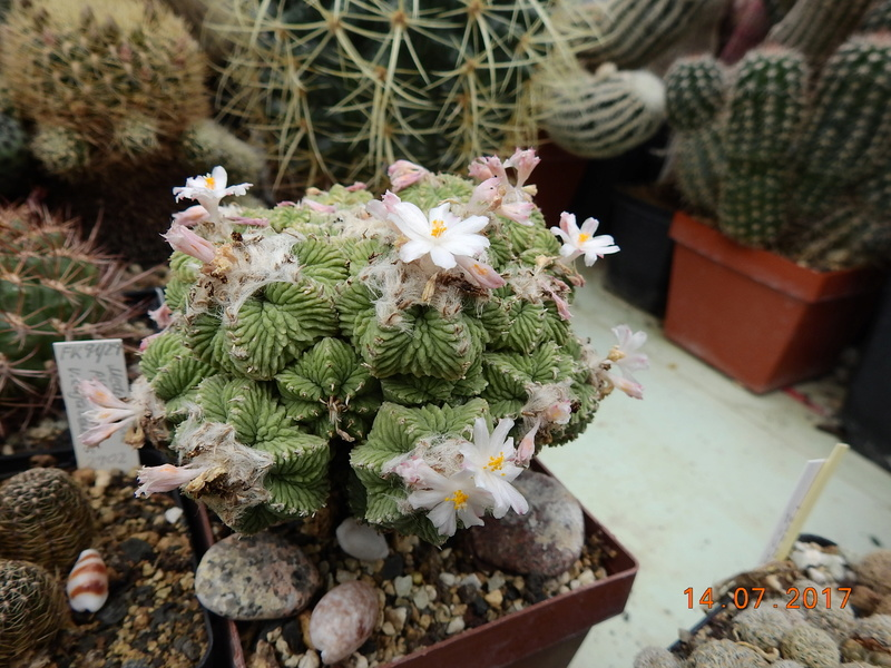 Cacti and Sukkulent in Köln, every day new flowers in the greenhouse Part 186 Bild1478