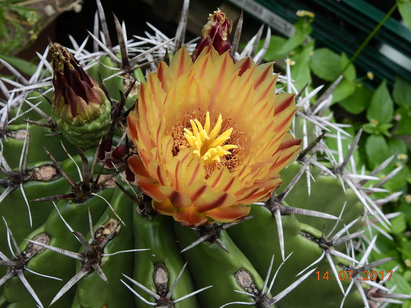 Cacti and Sukkulent in Köln, every day new flowers in the greenhouse Part 186 Bild1499