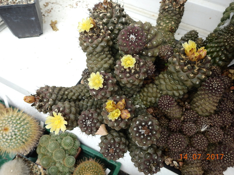 Cacti and Sukkulent in Köln, every day new flowers in the greenhouse Part 186 Bild1500