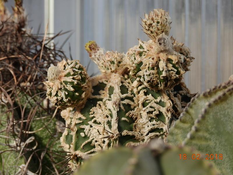 Cacti and Sukkulent in Köln, every day new flowers in the greenhouse Part 187 Bild1518