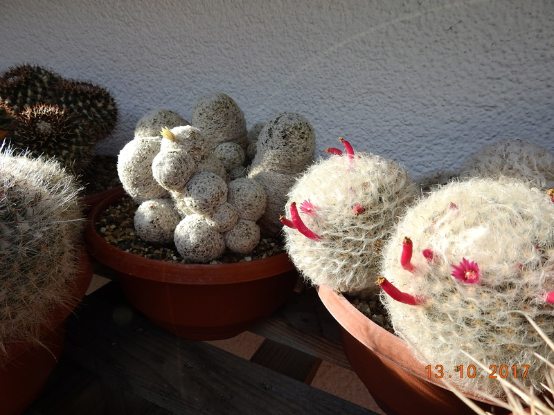 Cacti and Sukkulent in Köln, every day new flowers in the greenhouse Part 187 Bild1530