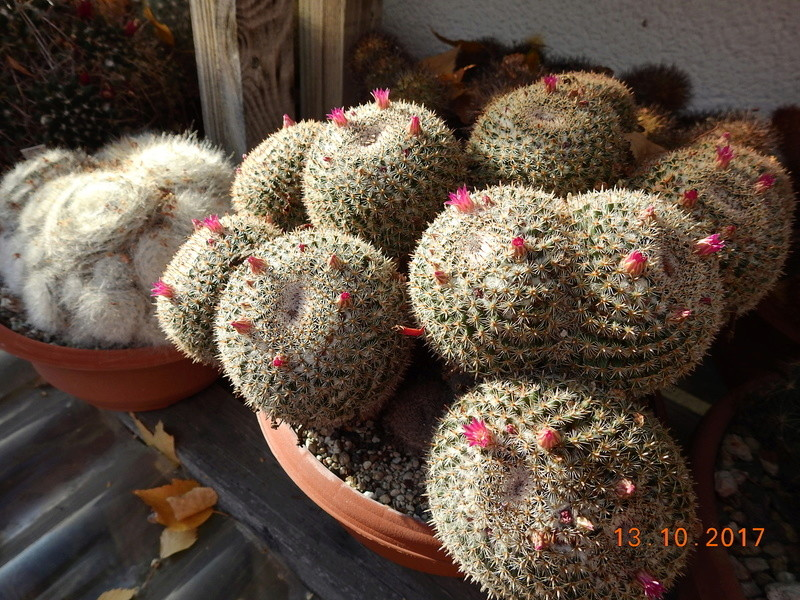 Cacti and Sukkulent in Köln, every day new flowers in the greenhouse Part 187 Bild1533