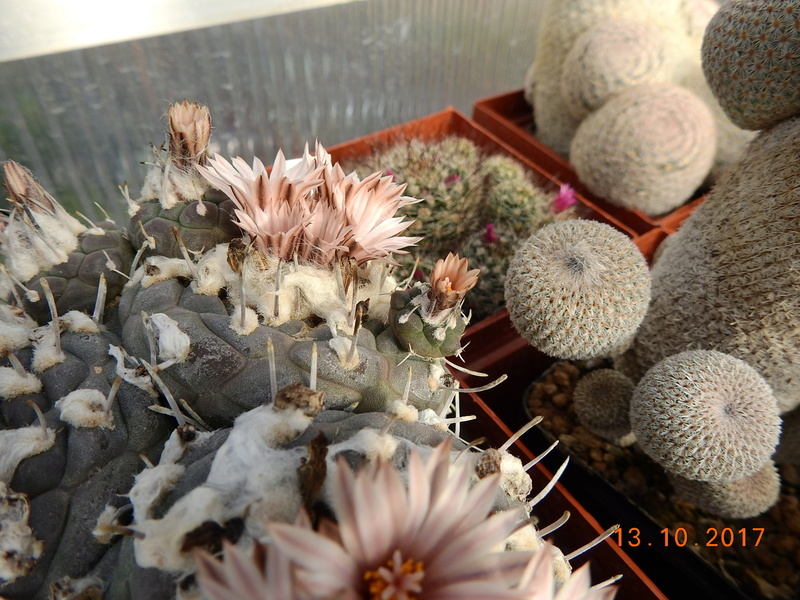 Cacti and Sukkulent in Köln, every day new flowers in the greenhouse Part 187 Bild1540