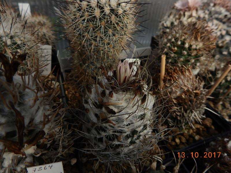 Cacti and Sukkulent in Köln, every day new flowers in the greenhouse Part 187 Bild1541