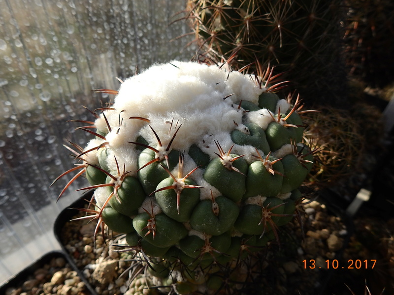 Cacti and Sukkulent in Köln, every day new flowers in the greenhouse Part 187 Bild1542