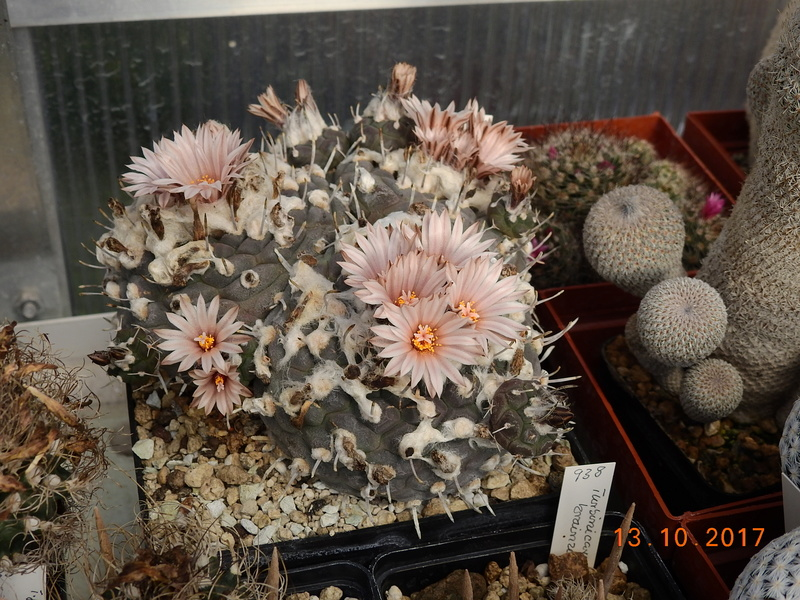 Cacti and Sukkulent in Köln, every day new flowers in the greenhouse Part 187 Bild1544