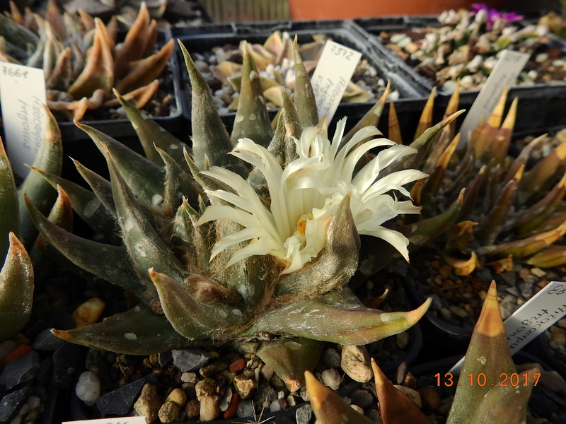 Cacti and Sukkulent in Köln, every day new flowers in the greenhouse Part 187 Bild1547