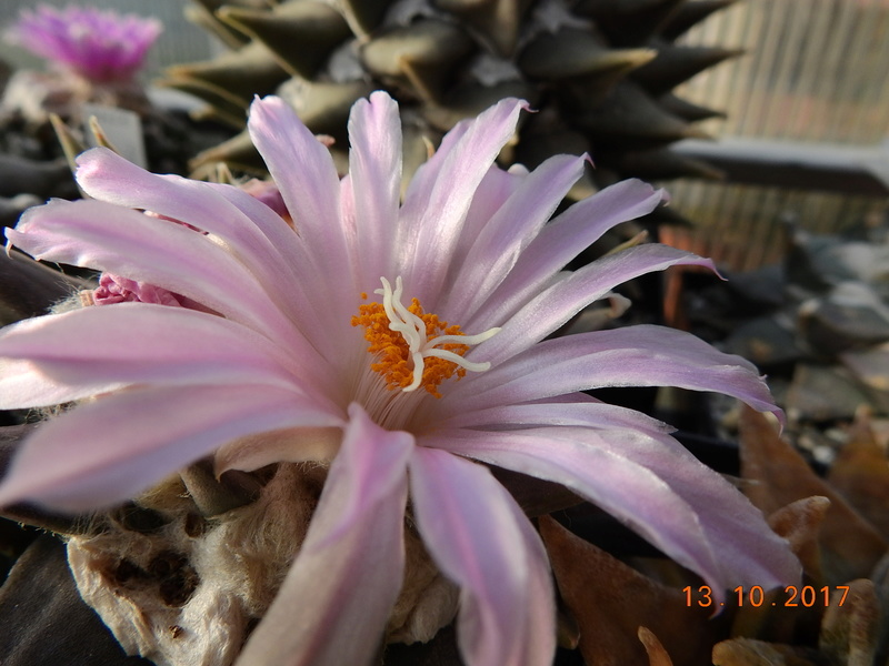 Cacti and Sukkulent in Köln, every day new flowers in the greenhouse Part 187 Bild1550