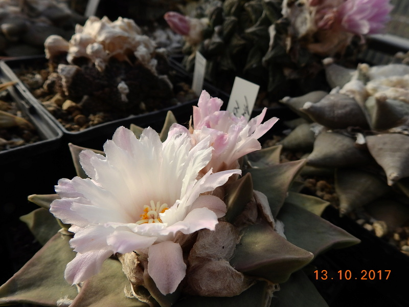 Cacti and Sukkulent in Köln, every day new flowers in the greenhouse Part 187 Bild1554