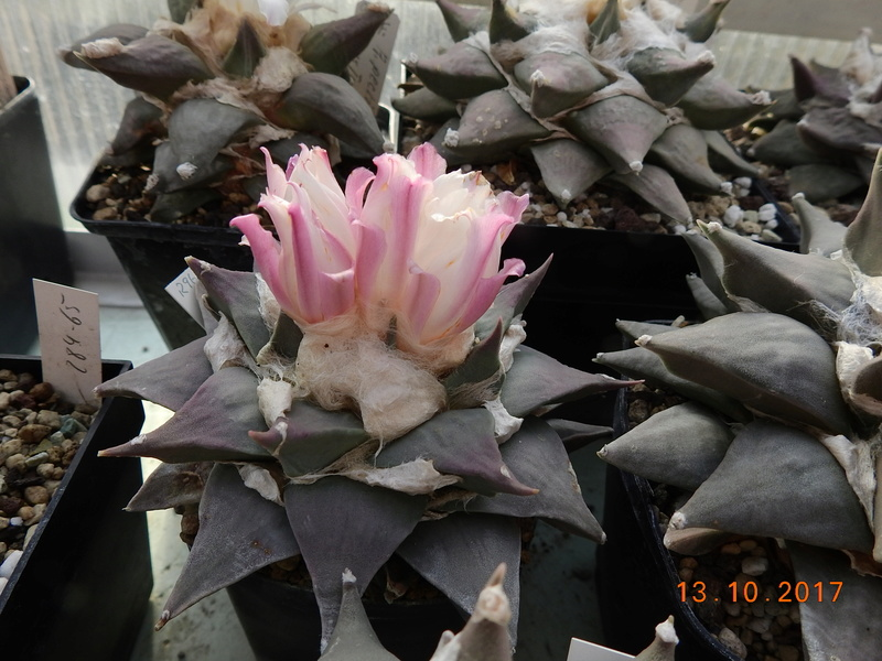 Cacti and Sukkulent in Köln, every day new flowers in the greenhouse Part 187 Bild1560