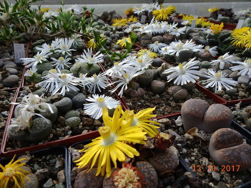 Cacti and Sukkulent in Köln, every day new flowers in the greenhouse Part 187 Bild1564