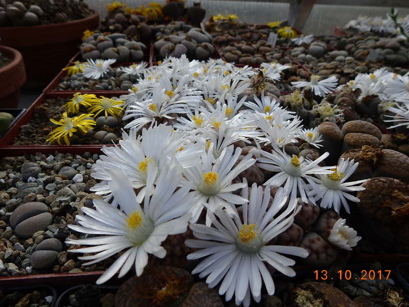Cacti and Sukkulent in Köln, every day new flowers in the greenhouse Part 187 Bild1565
