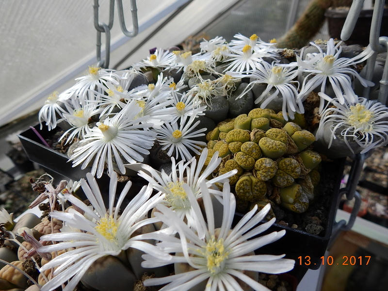Cacti and Sukkulent in Köln, every day new flowers in the greenhouse Part 187 Bild1566