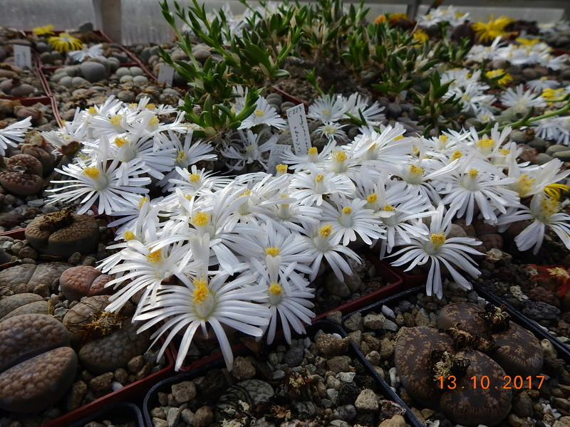 Cacti and Sukkulent in Köln, every day new flowers in the greenhouse Part 187 Bild1567