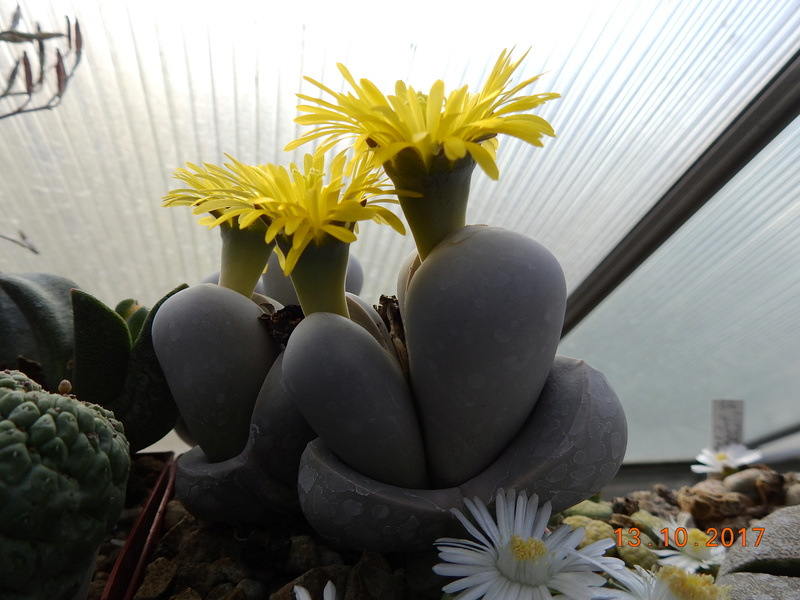 Cacti and Sukkulent in Köln, every day new flowers in the greenhouse Part 187 Bild1571