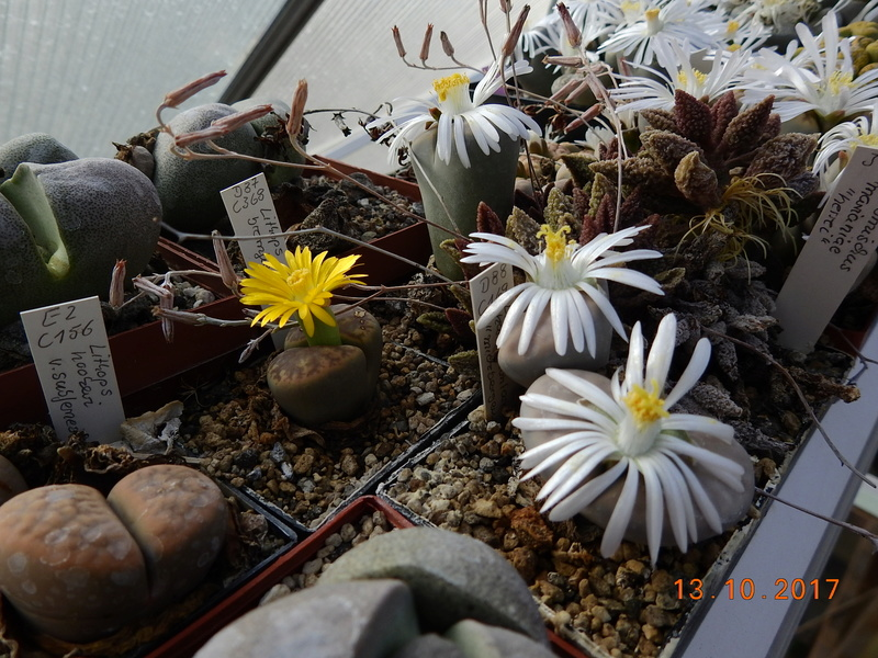 Cacti and Sukkulent in Köln, every day new flowers in the greenhouse Part 187 Bild1575