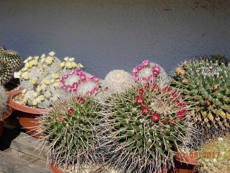 Cacti and Sukkulent in Köln, every day new flowers in the greenhouse Part 188 Bild1607
