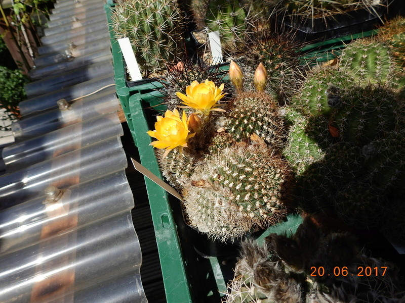 Cacti and Sukkulent in Köln, every day new flowers in the greenhouse Part 188 Bild1611