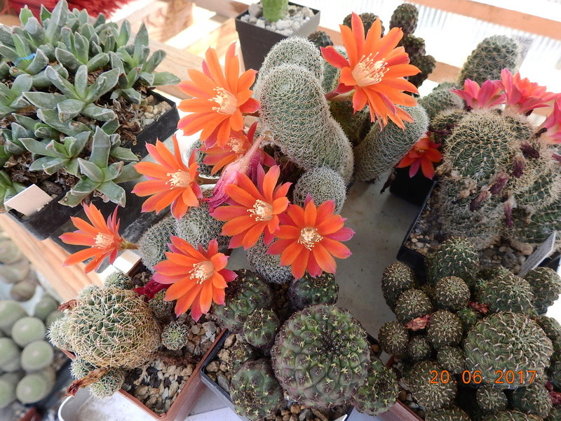 Cacti and Sukkulent in Köln, every day new flowers in the greenhouse Part 188 Bild1613
