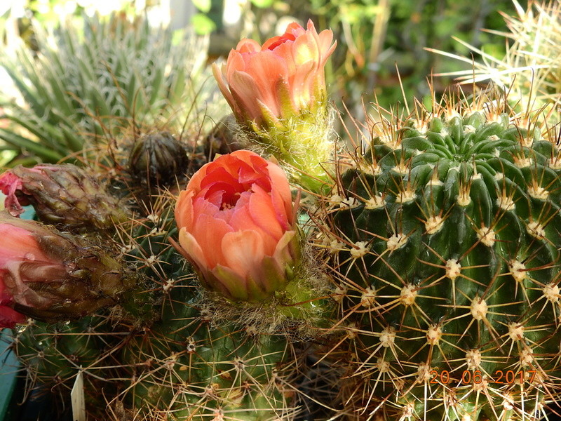 Cacti and Sukkulent in Köln, every day new flowers in the greenhouse Part 188 Bild1614