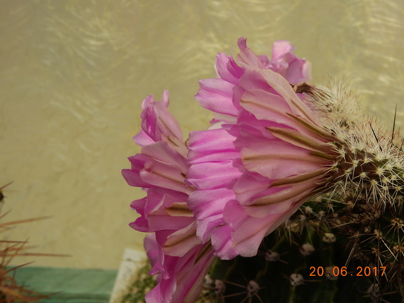 Cacti and Sukkulent in Köln, every day new flowers in the greenhouse Part 188 Bild1628