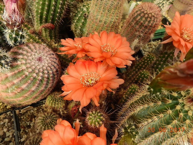 Cacti and Sukkulent in Köln, every day new flowers in the greenhouse Part 188 Bild1631