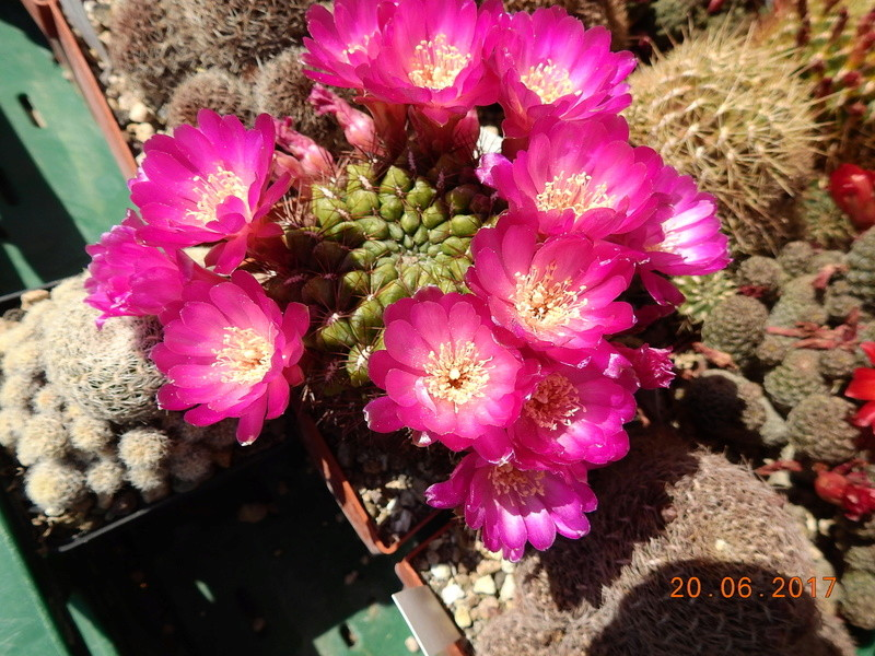 Cacti and Sukkulent in Köln, every day new flowers in the greenhouse Part 188 Bild1633