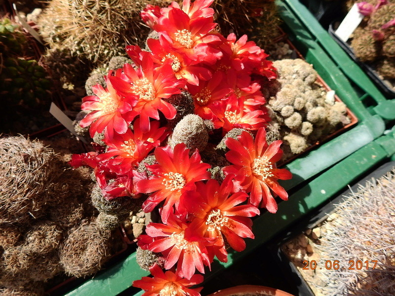 Cacti and Sukkulent in Köln, every day new flowers in the greenhouse Part 188 Bild1634
