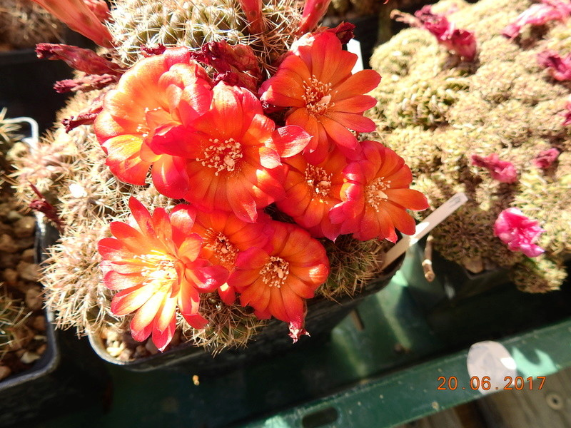 Cacti and Sukkulent in Köln, every day new flowers in the greenhouse Part 188 Bild1635