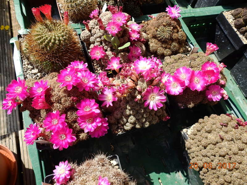 Cacti and Sukkulent in Köln, every day new flowers in the greenhouse Part 188 Bild1636
