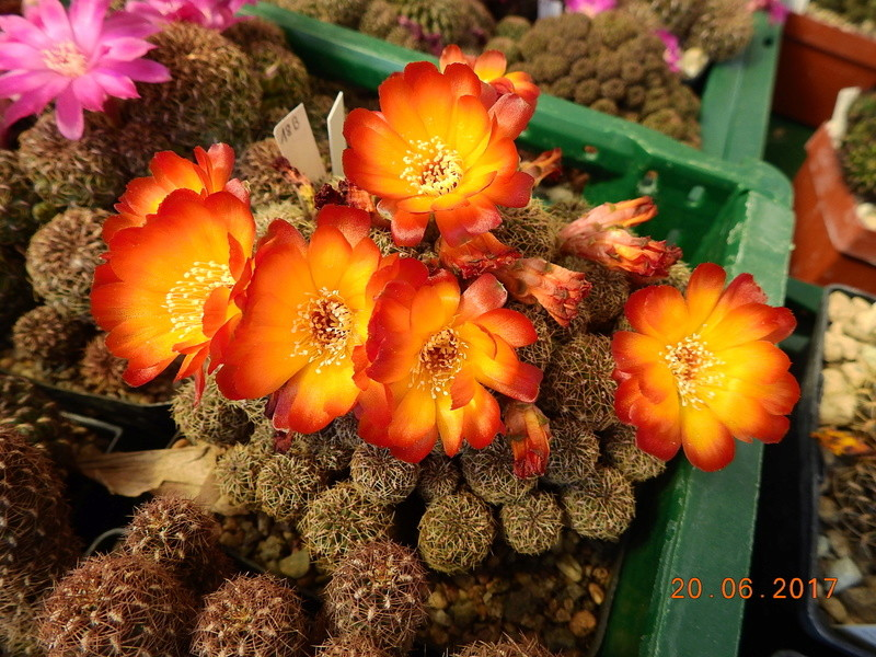Cacti and Sukkulent in Köln, every day new flowers in the greenhouse Part 188 Bild1638