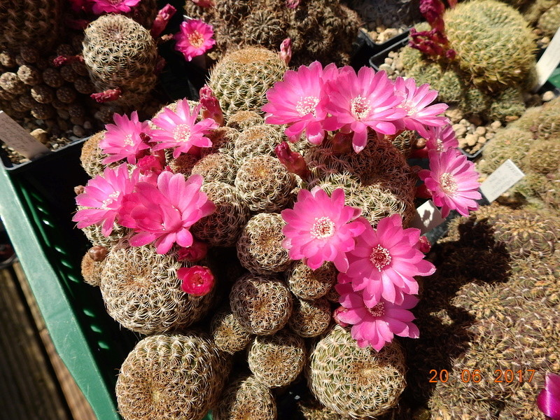 Cacti and Sukkulent in Köln, every day new flowers in the greenhouse Part 188 Bild1640