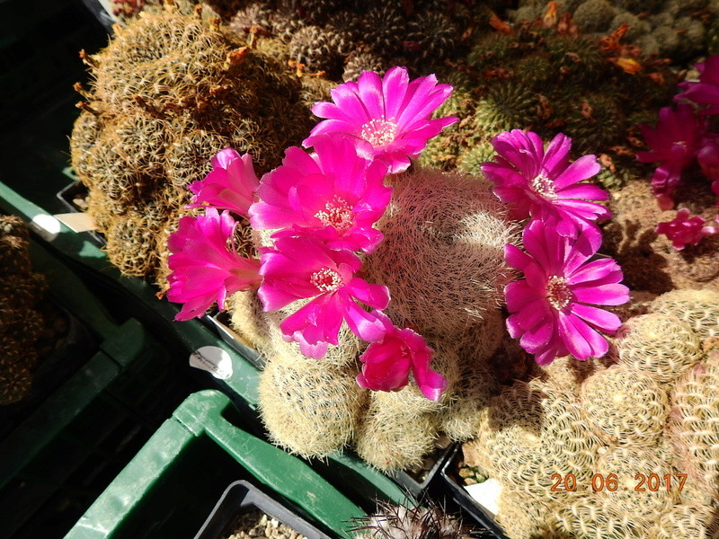 Cacti and Sukkulent in Köln, every day new flowers in the greenhouse Part 188 Bild1641