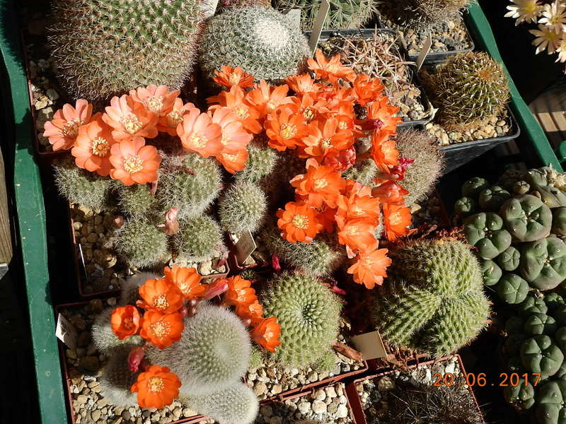 Cacti and Sukkulent in Köln, every day new flowers in the greenhouse Part 188 Bild1649