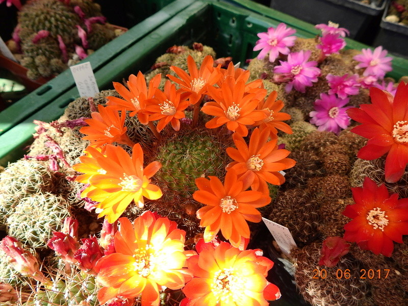 Cacti and Sukkulent in Köln, every day new flowers in the greenhouse Part 188 Bild1651
