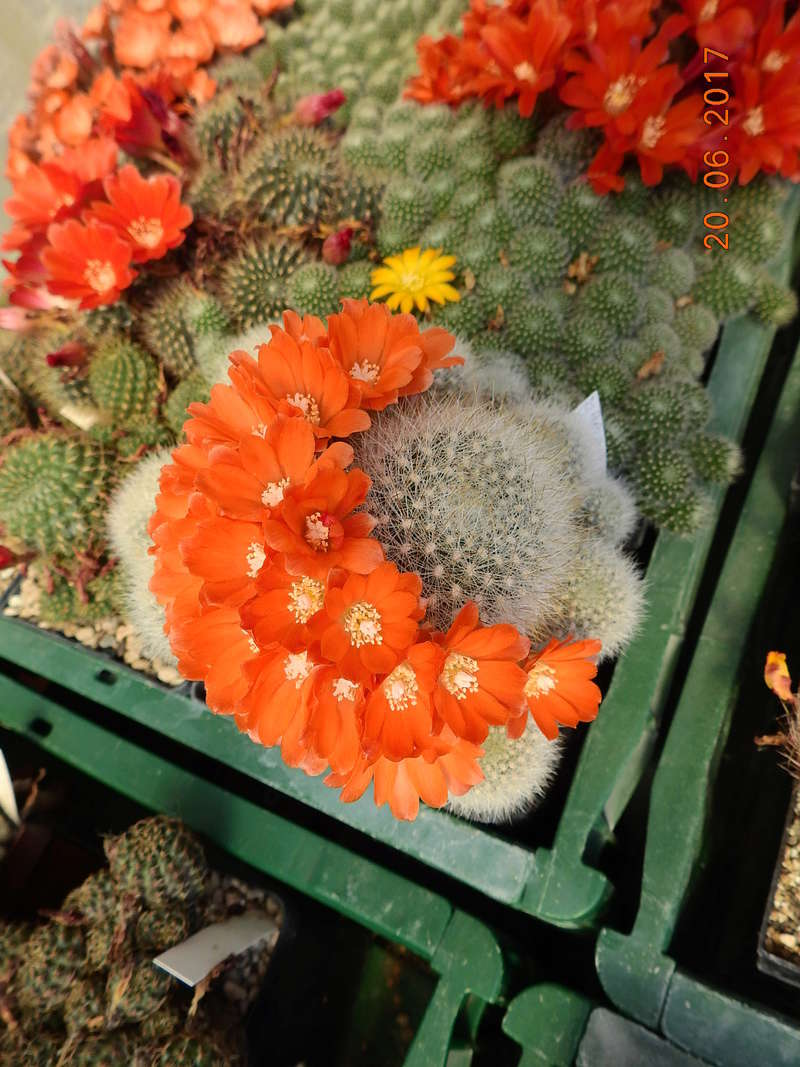 Cacti and Sukkulent in Köln, every day new flowers in the greenhouse Part 188 Bild1652