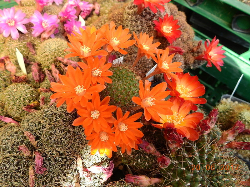 Cacti and Sukkulent in Köln, every day new flowers in the greenhouse Part 188 Bild1667