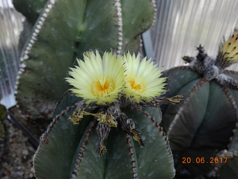 Cacti and Sukkulent in Köln, every day new flowers in the greenhouse Part 188 Bild1669