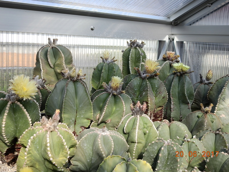 Cacti and Sukkulent in Köln, every day new flowers in the greenhouse Part 188 Bild1671