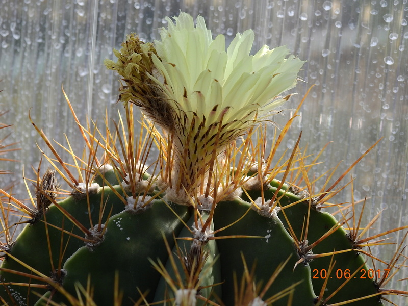 Cacti and Sukkulent in Köln, every day new flowers in the greenhouse Part 188 Bild1675
