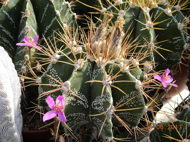 Cacti and Sukkulent in Köln, every day new flowers in the greenhouse Part 188 Bild1677