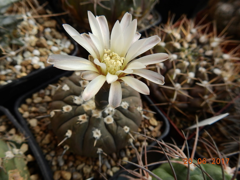 Cacti and Sukkulent in Köln, every day new flowers in the greenhouse Part 188 Bild1691