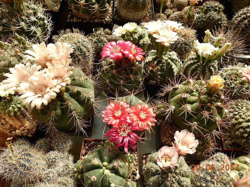 Cacti and Sukkulent in Köln, every day new flowers in the greenhouse Part 188 Bild1692