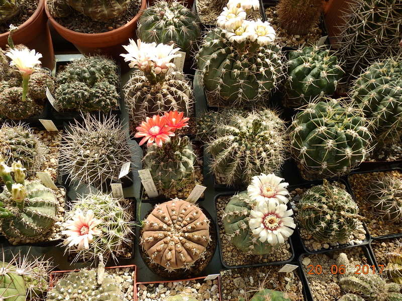 Cacti and Sukkulent in Köln, every day new flowers in the greenhouse Part 188 Bild1694