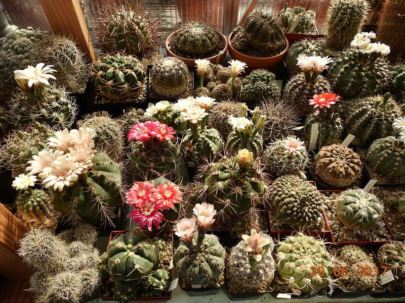 Cacti and Sukkulent in Köln, every day new flowers in the greenhouse Part 188 Bild1696