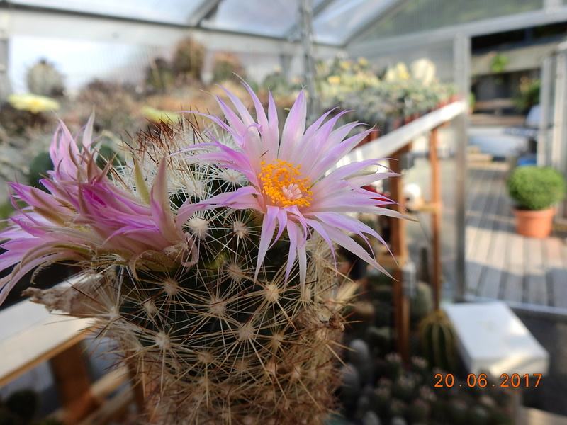 Cacti and Sukkulent in Köln, every day new flowers in the greenhouse Part 188 Bild1697
