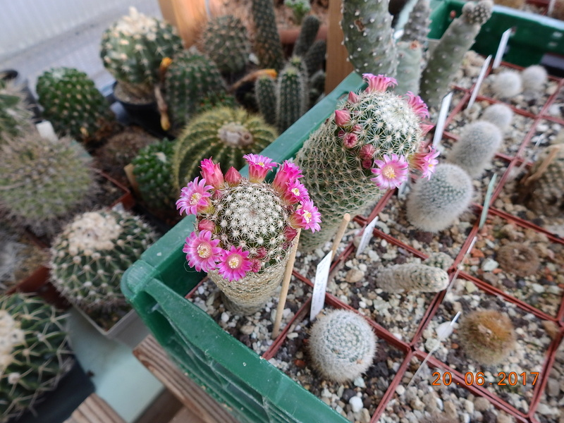 Cacti and Sukkulent in Köln, every day new flowers in the greenhouse Part 188 Bild1698