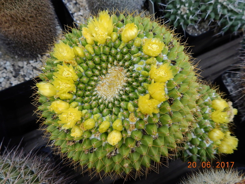 Cacti and Sukkulent in Köln, every day new flowers in the greenhouse Part 188 Bild1699